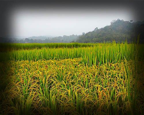 ryža pestovanie